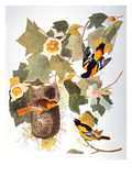 Audubon: Oriole Poster by John James Audubon