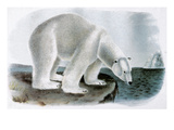 Polar Bear (Ursus Maritimus) Prints by John James Audubon