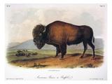 American Buffalo, 1846 Giclee Print