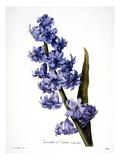 Hyacinth Prints