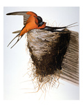 Audubon: Swallow Prints by John James Audubon