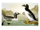 Great Auk (Alka Impennis): Giclee Print by John James Audubon