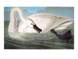 Audubon: Trumpeter Swan Posters by John James Audubon