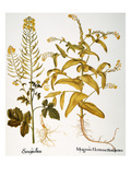 Mustard Plant, 1613 Giclee Print by Basilius Besler