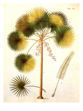 Fan Palm Giclee Print by P. Haas