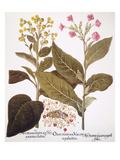 Tobacco Rustica, 1613 Giclee Print by Besler Basilius