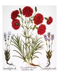 Carnation & Lavender, 1613 Prints by Besler Basilius