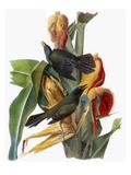 Audubon: Grackle Reproduction giclée Premium par John James Audubon