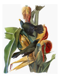 Audubon: Grackle Premium Giclee Print by John James Audubon