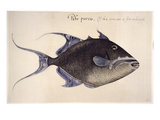 Trigger-Fish, 1585 Giclee Print by John White