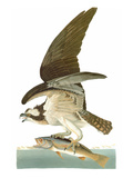 Audubon: Osprey Prints by John James Audubon