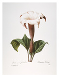 Redoute: Datura, 1833 Giclee Print by Pierre-Joseph Redouté