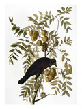 Audubon: Crow Giclee Print by John James Audubon