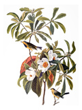 Audubon: Warbler, 1827-38 Art by John James Audubon