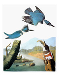 Audubon: Kingfisher Giclee Print by John James Audubon