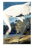 Whooping Crane, Art by John James Audubon