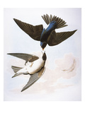 Audubon: Swallows, 1827-38 Giclee Print by John James Audubon