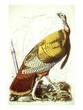 Great American Turkey Print by John James Audubon