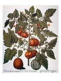 Tomato & Watermelon 1613 Prints by Besler Basilius