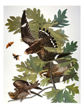 Audubon: Nighthawk Posters by John James Audubon