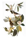 Audubon: Vireo Reproduction giclée Premium par John James Audubon