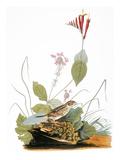 Audubon: Bunting Posters by John James Audubon