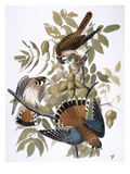 Audubon: Kestrel, 1827 Giclee Print by John James Audubon