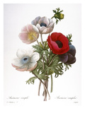 Redoute: Anemone, 1833 Prints by Pierre-Joseph Redoute