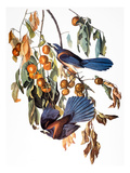 Audubon: Scrub Jay, 1827-38 Giclee Print by John James Audubon