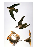 Audubon: Swift Giclee Print by John James Audubon