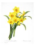 Narcissus (N. Tazetta) Posters