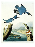 Belted Kingfisher Giclee Print by John James Audubon