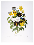 Redoute: Pansy, 1833 Giclee Print by Pierre-Joseph Redouté