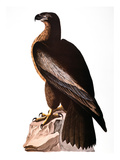 Audubon: Eagle Giclee Print by John James Audubon