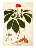 Botany: Ginseng Giclee Print