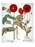 Garden Poppy Prints by Besler Basilius