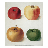 Apples Giclee Print by George Brookshaw