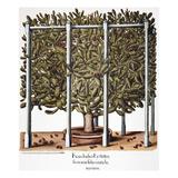 Cactus: Opuntia, 1613 Poster by Besler Basilius