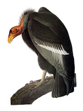 Audubon: Condor Giclee Print by John James Audubon