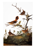Audubon: Wren Giclee Print by John James Audubon