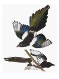 Audubon: Magpie Giclee Print by John James Audubon