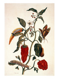 Pepper Plant Prints by Maria Sibylla Merian