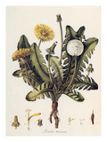 Dandelion Prints by William Kilburn