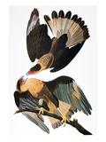 Audubon: Caracara, 1827-38 Giclee Print by John James Audubon