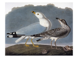 Audubon: Gull Giclee Print by John James Audubon