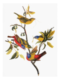 Audubon: Sparrows Giclee Print by John James Audubon