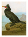 Audubon: Cormorant Prints by John James Audubon