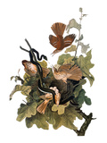 Audubon: Thrasher Reproduction giclée Premium par John James Audubon