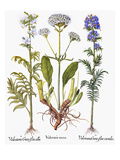 Valerian Flowers, 1613 Posters by Besler Basilius