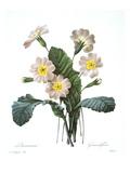 Primrose (Primula Aucalis) Prints